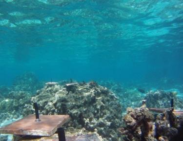 coral recruitment tile